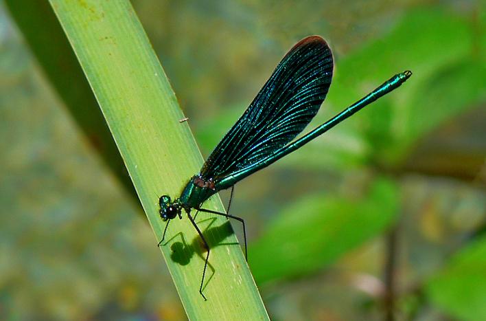 Noch einmal Libellen – DragonfliesAgain