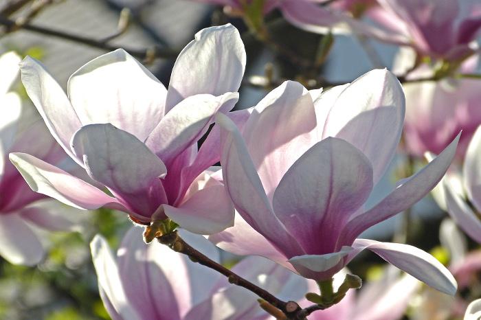 Magnolientraum – MagnoliaDream